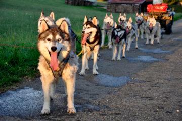Leithund vor dem Gespann – Husky-Fahrten haben zu jeder Jahreszeit Saison (Foto: Nature Trails)