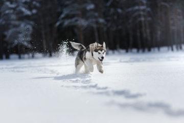Spaß im Schnee – ein Husky in seinem Element