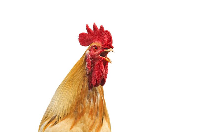 Rooster seeks milk pot