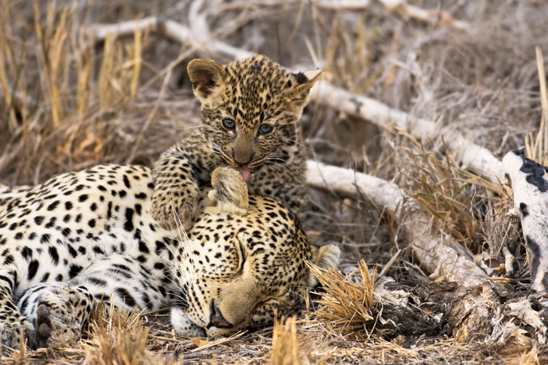 A leopard mother with offspring at Etosha National Park.